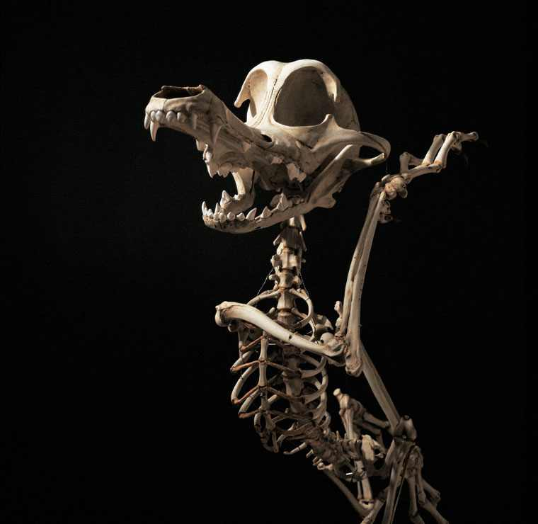 coyote-and-road-runner-skeleton-4