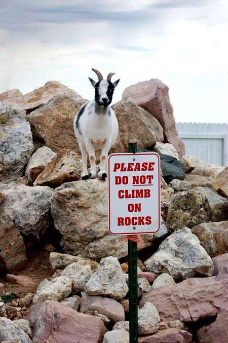 rebellious-goat